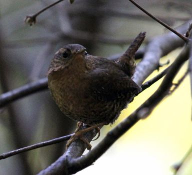 Stock | Pacific Wren by ShadowsStocks