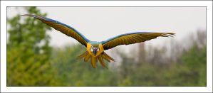 macaw by Vioto2