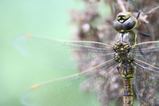 Dragonfly by risawn