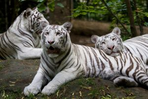 3783 - White tigers by Jay-Co