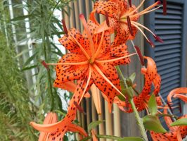 Tiger lilies. by TylerFreeFlight
