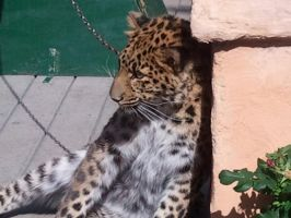 Leopard 1 by AbyssinalPhantom