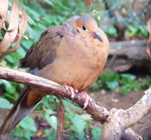 Socorro Dove by insolitus-mundus