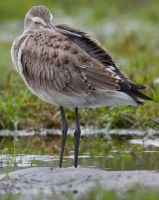Godwit 001 by Elluka-brendmer