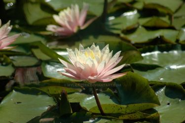Water Lily by MylilGreen
