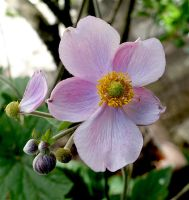 Japanese anemone by snake0644
