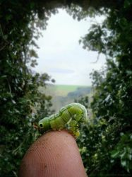 Caterpie by pixime