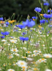 Cornflower and daisies . by 999999999a