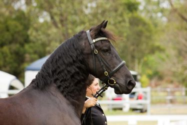 STOCK - Friesian Show 2012-7 by fillyrox