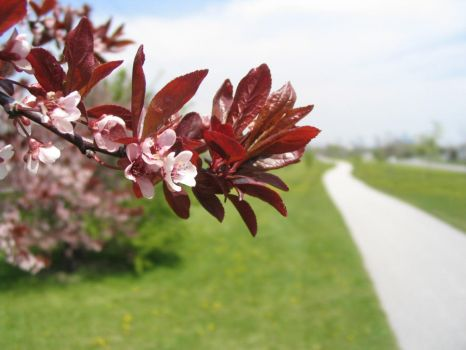 Spring Flowering Tree by Path by Qrystal