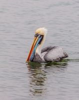Pisco-Harbour Pelican by TarJakArt