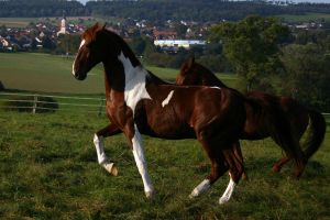 American Saddlebred Stock 51 by LuDa-Stock