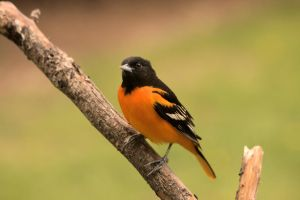 Mr. Oriole by dove-51