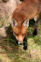 Red Fox Stare by Ubhejane