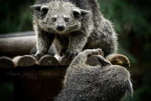 Binturongs by darkcalypso