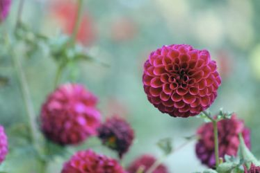 Last dahlias of fall by Ben-Kennett
