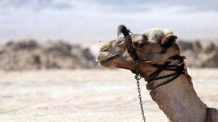 Be like a camel by Sebsemillia