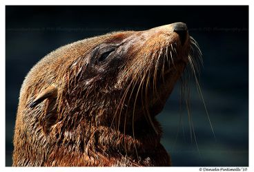 Seal Closeup by TVD-Photography
