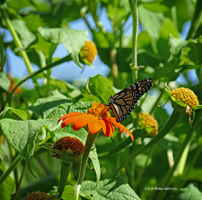 Viceroy on mexican sunflower by Mogrianne