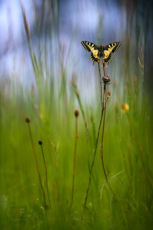Old World Swallowtail by mescamesh