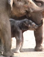 Baby elephant and mom stock by thiselectricheart