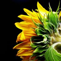 Sunflower from the back by Rob1962