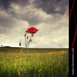 one poppy by iustyn