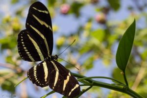 Another zebra longwing butterfly by CyclicalCore