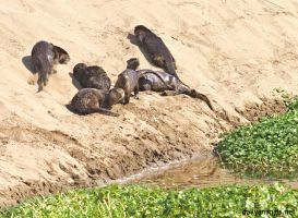 Otters play in the sand by jaffa-tamarin