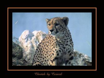 Cheetah by caracal