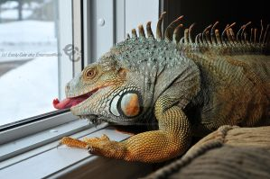 Hendrix the Iguana 2 by EmersonWolfe
