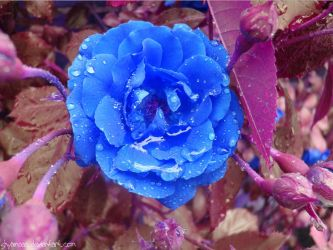 Blue rose by shyamaaa