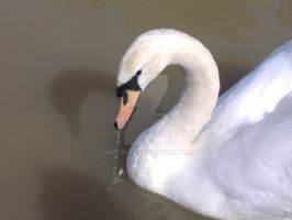 Swan by AndyBuck