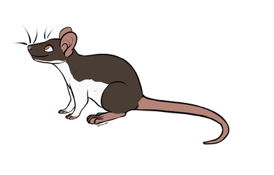 Banded Ratty 471 by Pitter-Paws-Rattery