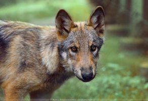 Timberwolf Pup3 by Khalliysgraphy