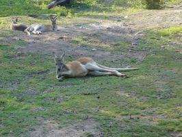 Lazy kangaroos by overdrive