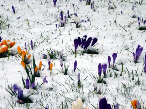 Crocus in the snow 2 by HansBr