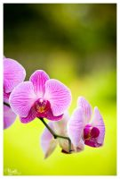 orchid by PajonK