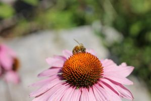Honey Bee Pollinating Echinacea Flower by cognisant