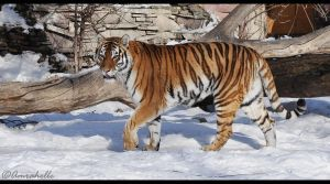 Amur Tigress by Amrahelle