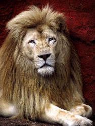 White Lion Stock 3 by HOTNStock