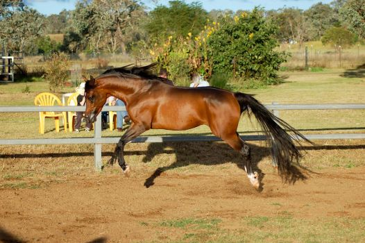 JA Arab Bay Leaping in air like showjump side view by Chunga-Stock