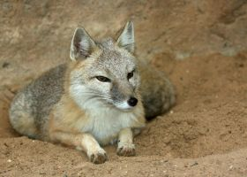 Swift Fox Poise and Grace by Jack-13