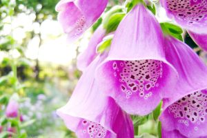 Digitalis purpurea by rosaarvensis