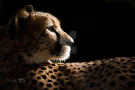 Posing cheetah by Lion-Redmich
