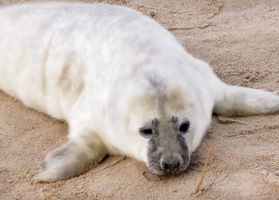 Grey Seal 007 by Elluka-brendmer