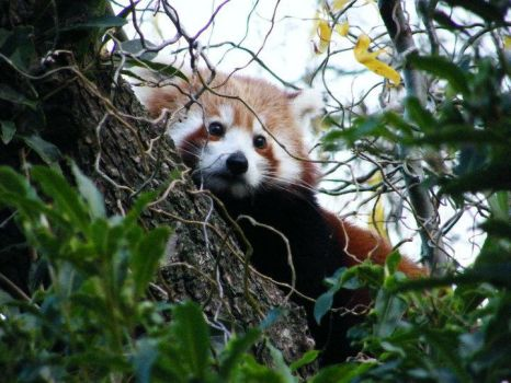 red panda by shutterbug911