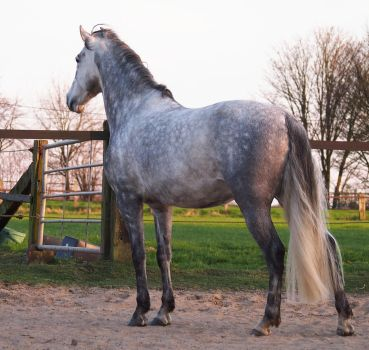grey andalusian backside 1 by Nexu4