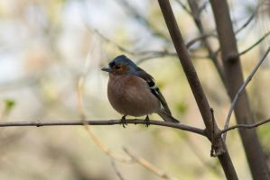Chaffinch by tonixart
