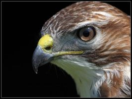 Buzzard Portrait by cycoze